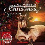 Goats Sing Christmas Album Cover